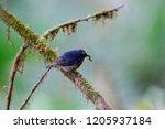 snowy browed flycatcher in doi... | Shutterstock . vector #1205937184
