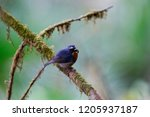 snowy browed flycatcher in doi... | Shutterstock . vector #1205937187