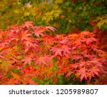 japanese maple leaves closeup... | Shutterstock . vector #1205989807