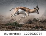 Fast Fleeing African Springbok...