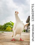 full body of white feather... | Shutterstock . vector #1206039751