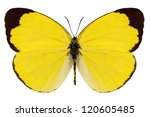Butterfly species eurema alitha ...
