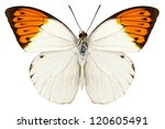 Butterfly Species Hebomoia...