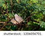 a pair of ruddy ground doves... | Shutterstock . vector #1206056701