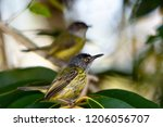 a pair of spotted tody... | Shutterstock . vector #1206056707
