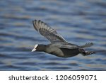 eurasian coot  fulica atra  | Shutterstock . vector #1206059071