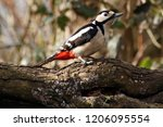 dendrocopos major great spotted ... | Shutterstock . vector #1206095554