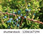 fresh organic blueberries grown ... | Shutterstock . vector #1206167194