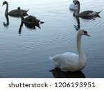 a small flock of swans feeding... | Shutterstock . vector #1206193951