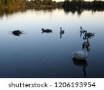 a small flock of swans feeding... | Shutterstock . vector #1206193954