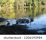 a small flock of swans feeding... | Shutterstock . vector #1206193984