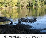a small flock of swans feeding... | Shutterstock . vector #1206193987