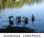 a small flock of swans feeding... | Shutterstock . vector #1206194014