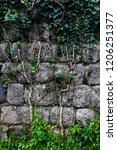 ivy spreads on the wall with... | Shutterstock . vector #1206251377