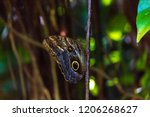 Owl Butterfly With Green...