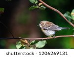 songbird in nature | Shutterstock . vector #1206269131