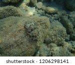 cuttlefish  sepiida   aegean...   Shutterstock . vector #1206298141