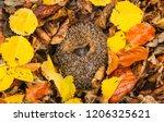 hedgehog  native  wild ... | Shutterstock . vector #1206325621
