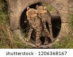 cheetah cubs nuzzling each... | Shutterstock . vector #1206368167
