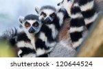 Ring Tailed Lemur  Lemur Catta  ...