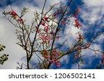 pretty silk floss tree  ceiba... | Shutterstock . vector #1206502141