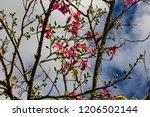 pretty silk floss tree  ceiba... | Shutterstock . vector #1206502144