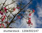 pretty silk floss tree  ceiba... | Shutterstock . vector #1206502147