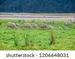 white sheep on hill in new... | Shutterstock . vector #1206648031