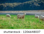 white sheep on hill in new... | Shutterstock . vector #1206648037