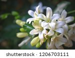The Cluster Of White Flower Can ...
