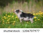 Mini Pig Walking On The Field...