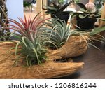Tillandsia. Idea For Home And...