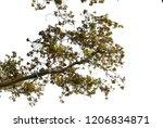 realistic maple tree silhouette | Shutterstock . vector #1206834871