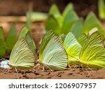 Butterflies Swarm Eats The...