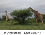 giraffes eating from a tree in... | Shutterstock . vector #1206985744