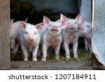 Little Cute Pigs On The Farm....