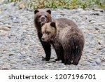 grizzly bear  ursus artos... | Shutterstock . vector #1207196701