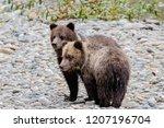 grizzly bear  ursus artos... | Shutterstock . vector #1207196704