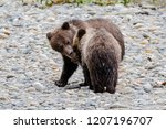 grizzly bear  ursus artos... | Shutterstock . vector #1207196707