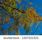 brilliant  yellow  autumn  ... | Shutterstock . vector #1207321321