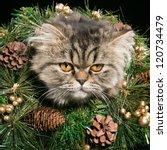 Lovely Persian Kitten In...