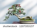 Curved Bonsai Tree With Red...