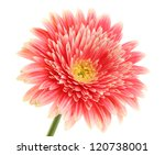 Stock photo beautiful gerbera flower isolated on white 120738001