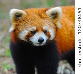 Closeup Of Red Panda   Also...