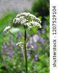 valerian  valeriana officinalis  | Shutterstock . vector #1207529104