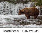 Grizzly Bear In Alaska Katmai...