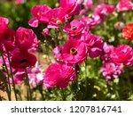 Pink Flowers At Carlsbad Flowe...