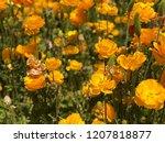 Yellow Flowers At Carlsbad...