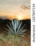sunset landscape of a tequila...   Shutterstock . vector #1207847134