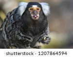 marmoset poking out its tongue | Shutterstock . vector #1207864594